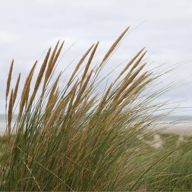 Helmgras in de duinen