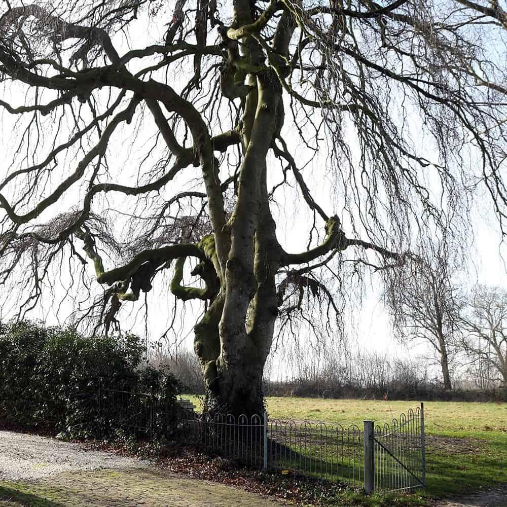 Treurwilg bij begraafplaats